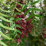 Greenscape Design pepperberry tree foliage green decor options