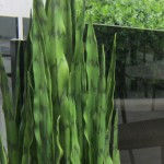 Greenscape Design snake plant sanserveria boxwood green decor options