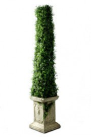 boxwood pyramid topiary