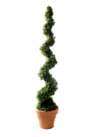 Cedar Spiral Topiary