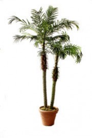 Double Potted Robelini Palm Tree