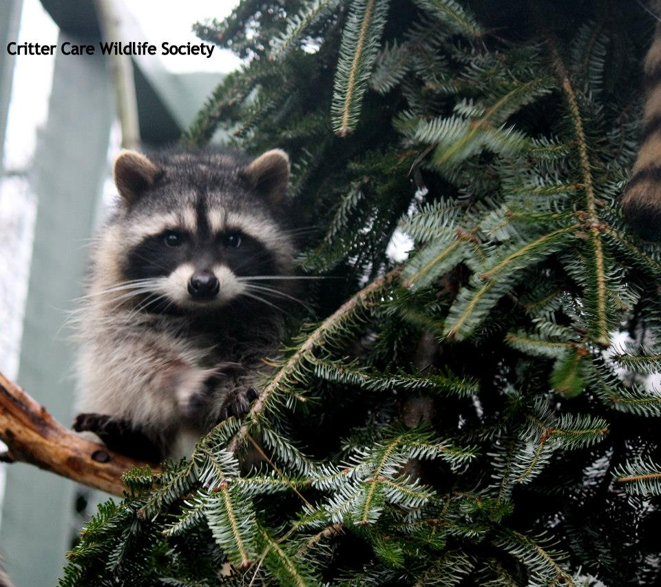Greenscape Design Critter Care Tree Recycling Racoon