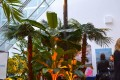 Greenscape Design Banana Palm Tree Rentals Vancouver