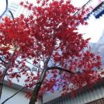 Greenscape Design Faux Red Maple Tree Landscape Design Vancouver