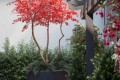 Greenscape Design Exterior Polyblend Red Maple Tree in Commercial Black Planter