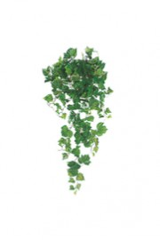 Greenscape Design Ivy Groundcover