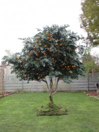 Greeenscape Design - Tangerine tree custom silk foliage artifical fruit tree