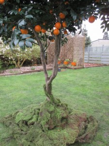 Greenscape Design - Artificial tangerine tree natural trunk moss ground cover