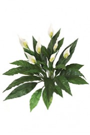 Spathiphylum Peace Lily Plant