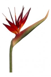 Bird of Paradise Burgundy - Greenscape